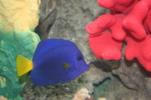 red sea purple tang